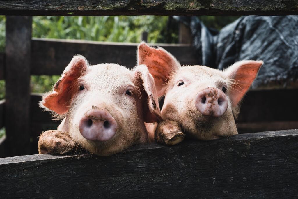 laboratorio de diagnostico porcino